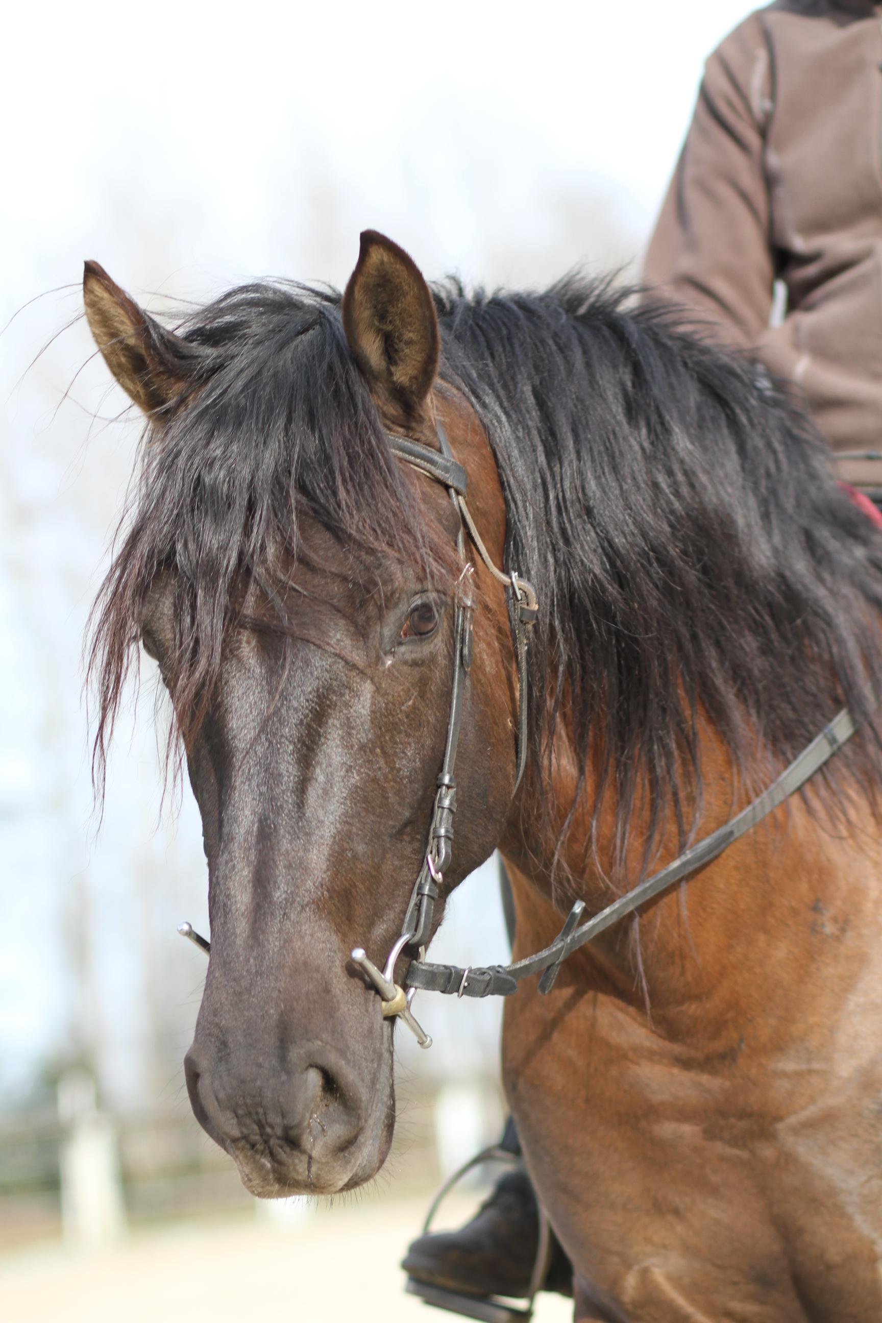 Ein schwarzes Pferd mit langer Mähne