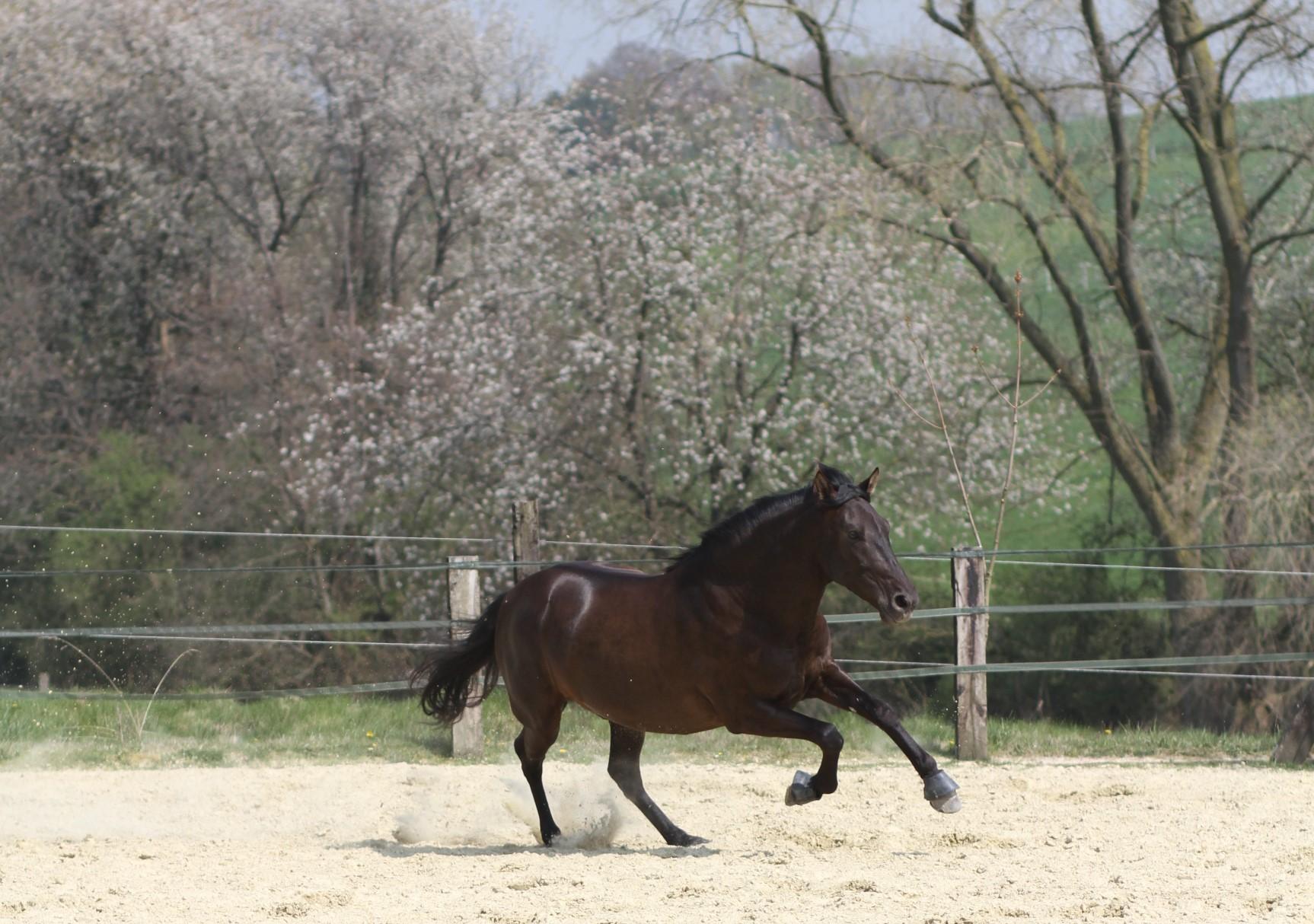 Ein galoppierendes Pferd vor blühenden Bäumen