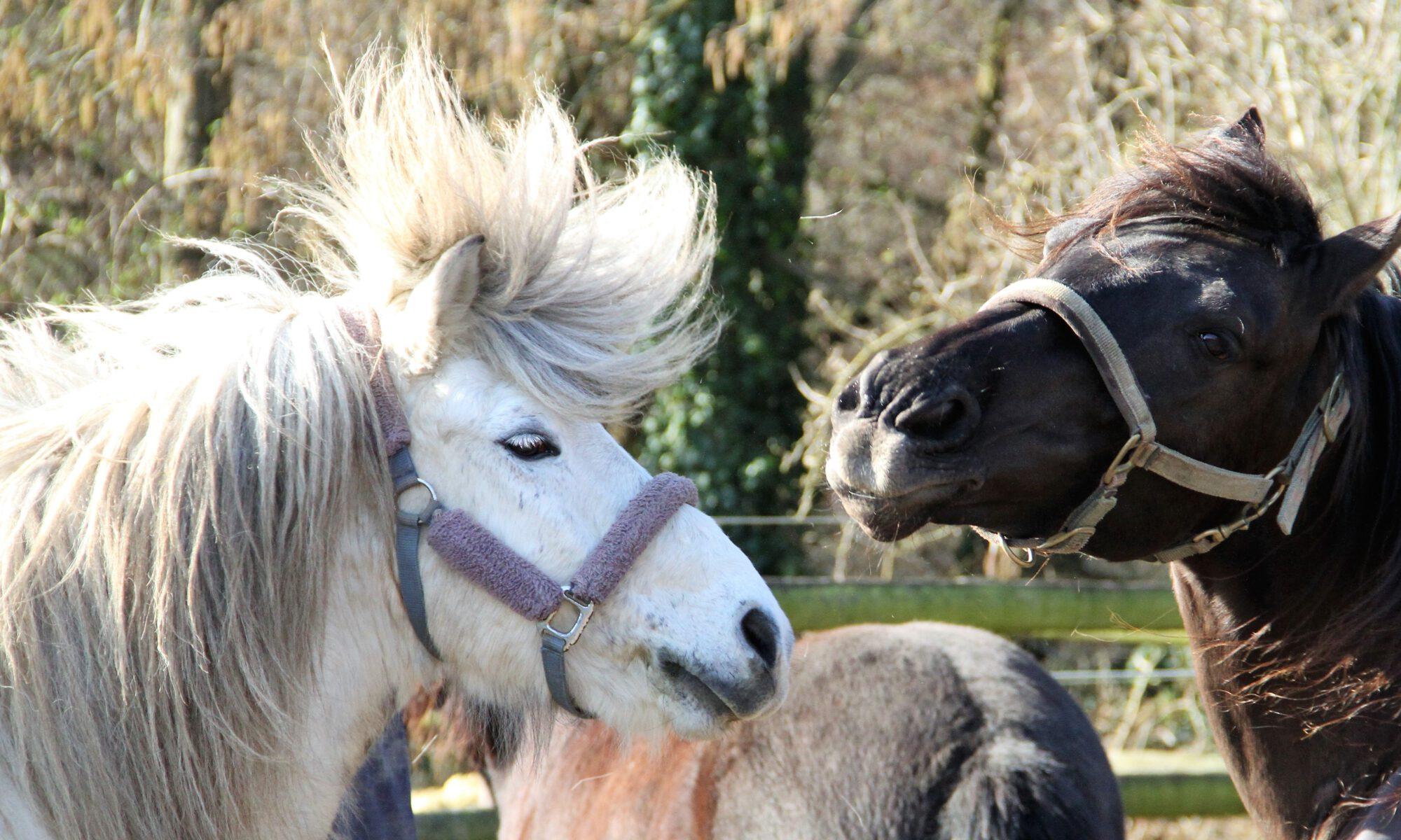 Zwei Pferde mit Bad Hair Day